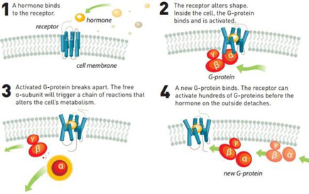 Fig. 1. Proteínas G