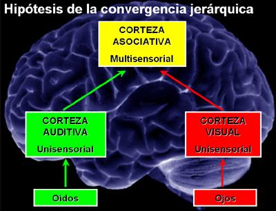 funciones del cerebro humano. La corteza cerebral humana,